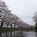 福岡堰さくら公園35