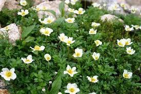 山の基礎知識 #100 山の花「チングルマ」