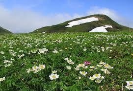 山の基礎知識 #104 山の花「ハクサンイチゲ」