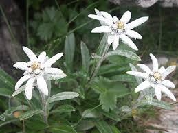 山の基礎知識 #93 山の花「ハヤチネウスユキソウ」