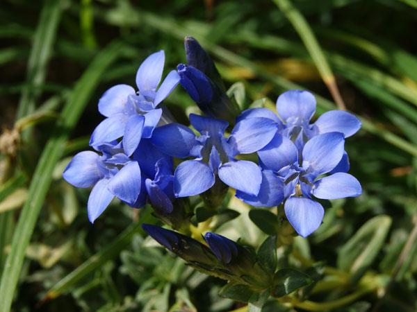 山の基礎知識 #96 山の花「イイデリンドウ」