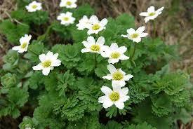 山の基礎知識 #103 山の花「キタダケソウ」