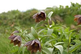 山の基礎知識 #95 山の花「ミヤマクロユリ」