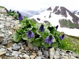 山の基礎知識 #105 山の花「ウルップソウ」