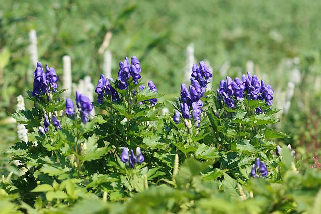 山の基礎知識 #108 山の花「イブキトリカブト」