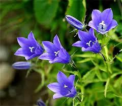 山の基礎知識 #106 山の花「イワギキョウ」
