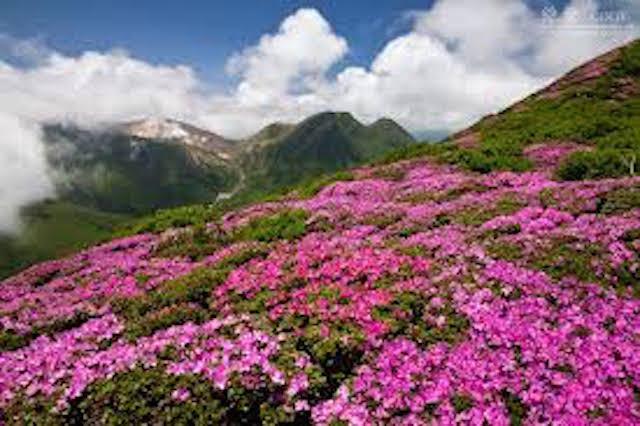 山の基礎知識 #110 山の花「ミヤマキリシマ」