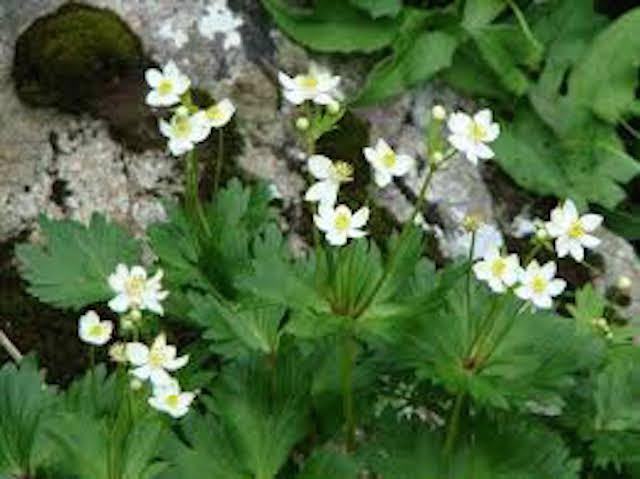 山の基礎知識 #109 山の花「シコクイチゲ」