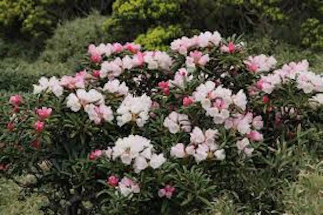 山の基礎知識 #111 山の花「アケボノツツジ」